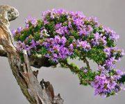 Top 7 loại cây bonsai đẹp nhất thế giới