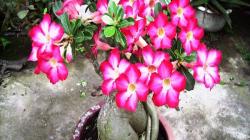 Cách chăm sóc cây sứ ra hoa theo ý muốn