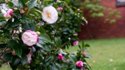 Cách chăm sóc cây hoa trà đúng cách