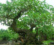 Cách trồng cây sung ra quả đúng tết