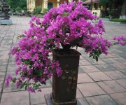 Cách chăm sóc cây hoa giấy ra nhiều hoa
