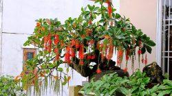Cách chăm sóc cây Lộc Vừng đúng kỹ thuật