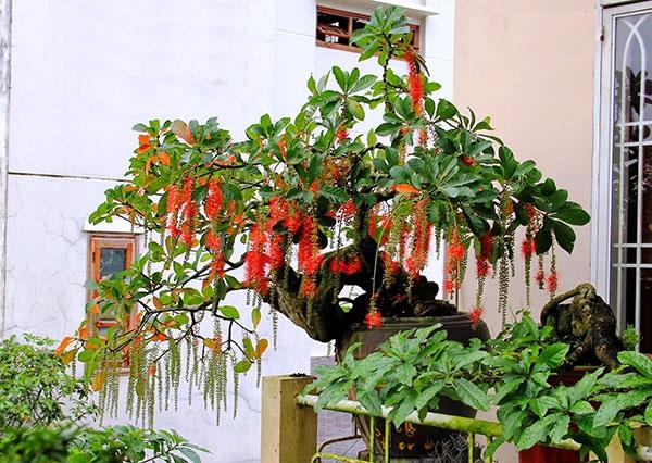 Cách chăm sóc cây Lộc Vừng tại nhà để ra nhiều hoa