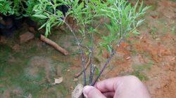 Kỹ thuật trồng cây đinh lăng tại nhà cho người mới bắt đầu