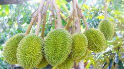 Kỹ thuật trồng sầu riêng như thế nào đạt năng suất cao?
