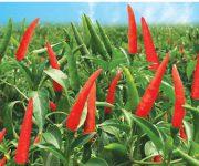 Kỹ thuật trồng ớt đạt năng suất cao