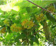 Kỹ thuật trồng hoa thiên lý ra hoa quanh năm